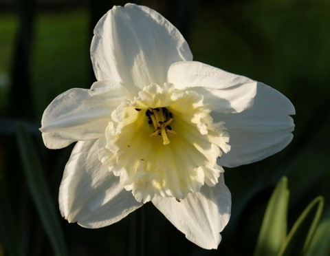 A Narcissus - a daffodil shaped flower which is creamy white and fully opened