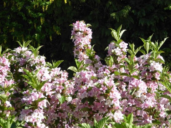 A sea of tiny lilac coloured flowers flourish from a plant which has small green leaves