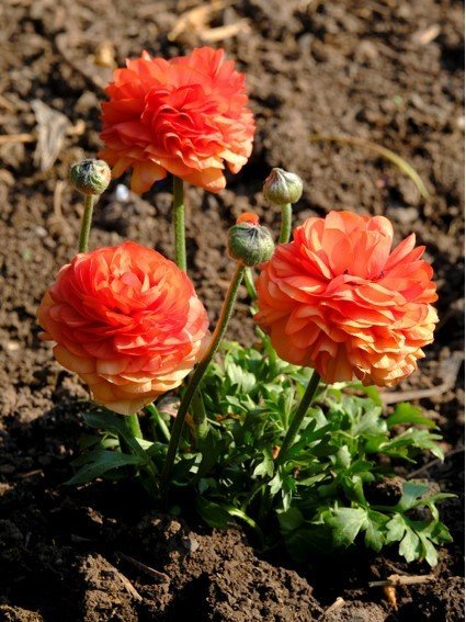 Three orange and coral coloured flowers. Their heads are almost spherical shaped where they are so full of petals