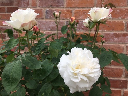 Three full open roses in a very soft pink colour sit in front of a traditional brick wall. Several other roses are in bud also